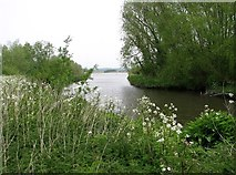 TG3204 : Cow parsley at Rockland Dyke by Evelyn Simak