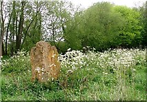 TG3204 : Cow parsley by Rockland Dyke by Evelyn Simak