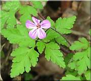 TG3204 : Herb Robert (Geranium robertianum) by Evelyn Simak