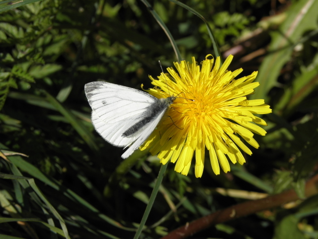 Female orange tip butterfly, Lackagh