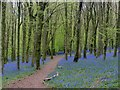 ST1583 : Path through the bluebells, Coed y Wenallt, Cardiff by Robin Drayton