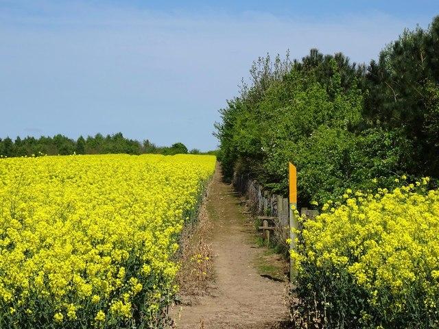 Footpath between flowering oilseed rape and Kelham Wood