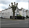 TQ1568 : Pollarded tree on an East Molesey corner  by Jaggery