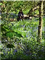 SK3282 : Amongst the bluebells in Ecclesall Woods by Neil Theasby