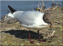 J3777 : Black-headed gull, Belfast harbour - May 2017(1) by Albert Bridge