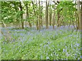 SY8995 : Morden, bluebell wood by Mike Faherty