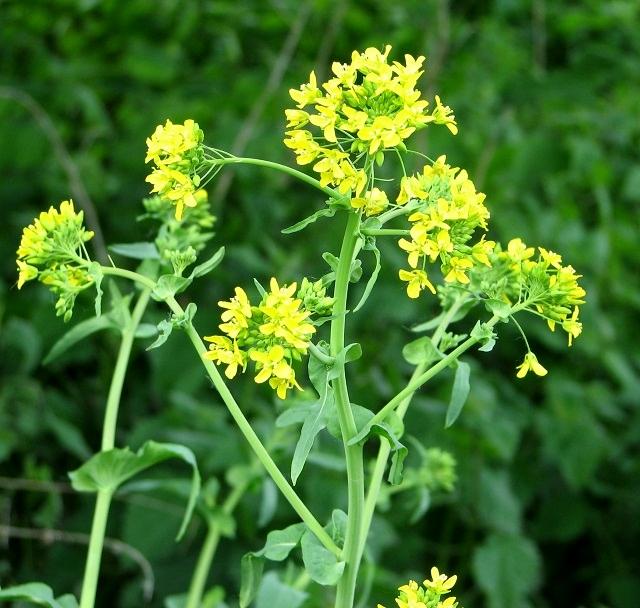 Wild Cabbage (Brassica oleracea) - flower