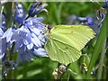 ST3086 : Brimstone butterfly on a bluebell by Robin Drayton