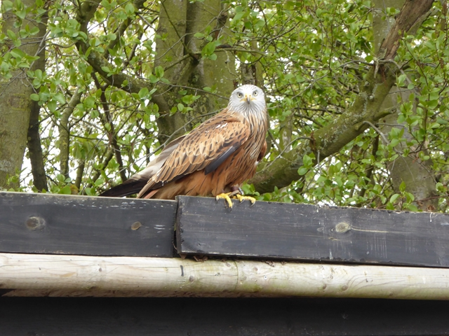 Red Kite at the Suffolk Owl Sanctuary