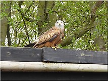 TM1459 : Red Kite at the Suffolk Owl Sanctuary by Oliver Dixon