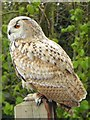 TM1459 : Siberian Eagle Owl at the Suffolk Owl Sanctuary by Oliver Dixon