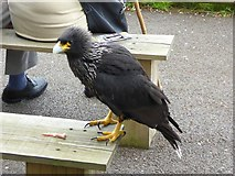 TM1459 : Striated Caracara at the Suffolk Owl Sanctuary by Oliver Dixon