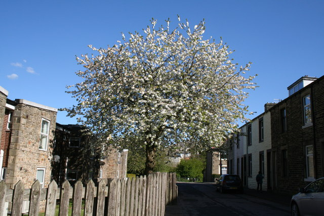 Barnoldswick:  Hollins Court: Flowering  cherry tree