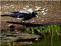 H4772 : Hooded crow taking a drink, Camowen River by Kenneth  Allen