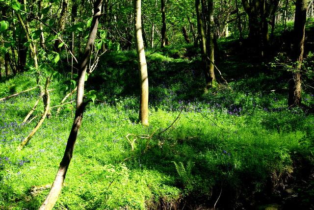 Bluebell woods by Raughtongill Bridge
