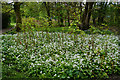 SD7916 : Wild garlic and Japanese knotweed by Bill Boaden
