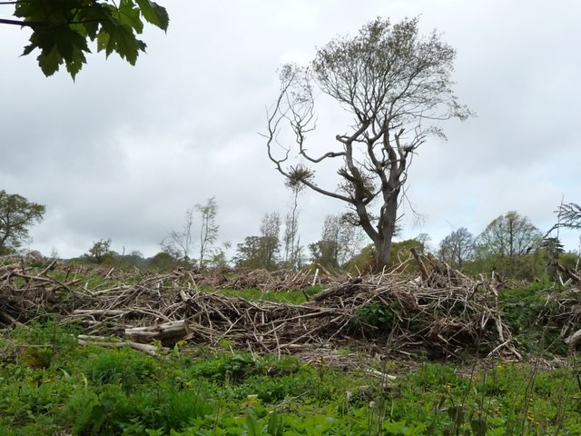One remaining tree at Coed Bryn-y-pin