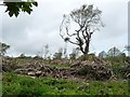 SH9973 : One remaining tree at Coed Bryn-y-pin by Christine Johnstone