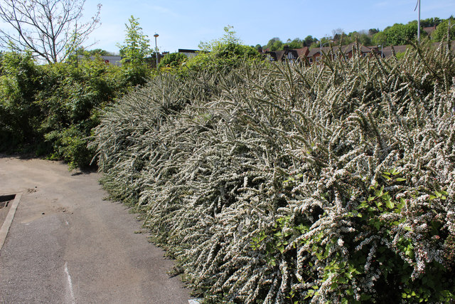 Coulsdon:  Windermere Road:  Cotoneaster