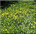 TG3103 : Creeping buttercup growing in a small pond by Evelyn Simak