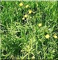 TG3103 : Meadow buttercup (Ranunculus acris) by Evelyn Simak