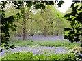 SK3722 : Bluebells in Spring Wood by Graham Hogg
