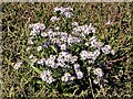 SZ8596 : Sea aster by Ferry Pool, Pagham Harbour by Patrick Roper
