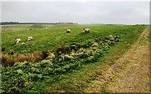 NO2003 : Sheep in field, Lomond Hills by Bill Kasman