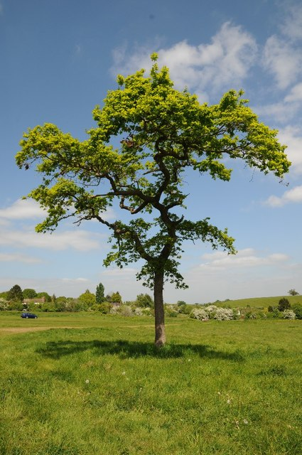 young oak tree 169 philip halling ccbysa20 geograph