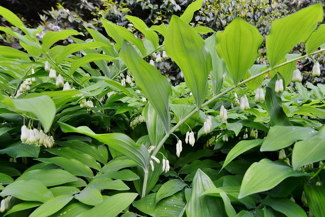 "High Beeches Garden: Polygonatum multiflorum ""Giganteum"" aka Solomon's Seal"