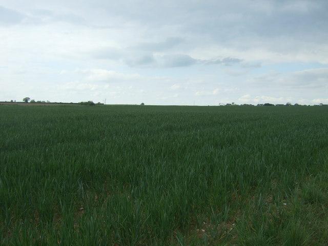Crop field, Morley St. Botolph