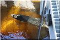 NN9357 : Salmon by Peter Jeffery
