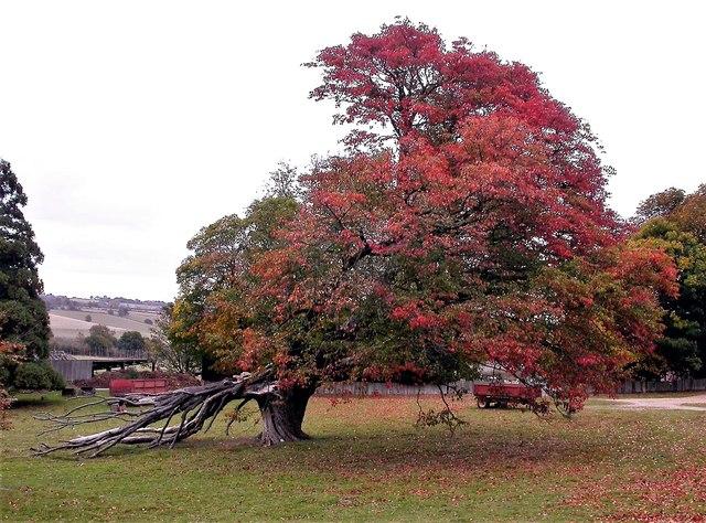 Wild service tree at Parsonage Farm