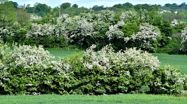 Spring blossom, Drumbane, Moira (May 2017)