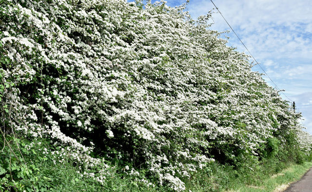 Spring blossom, Ballylacky, Moira/Ballinderry (May 2017)