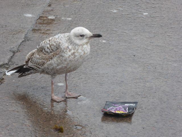 Juvenile Herring Gull on the quayside at Gourdon