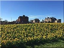 NT6779 : Daffodils at The Glebe, Dunbar by Jennifer Petrie