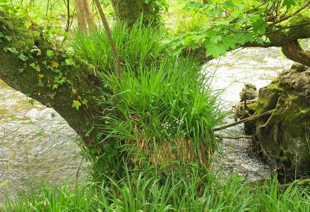 Woodrush on tree by the Avon