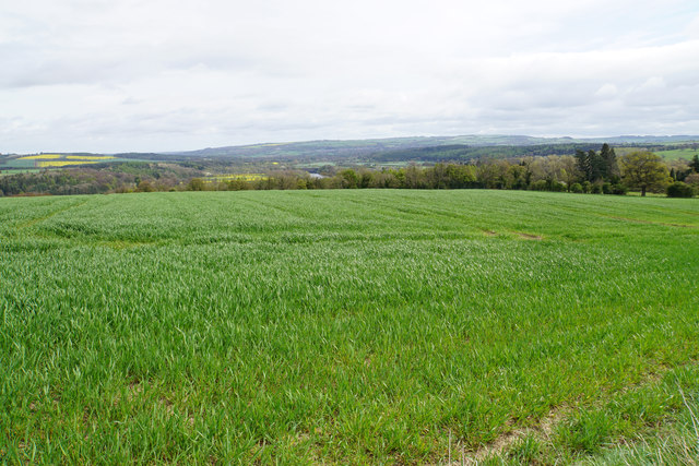 Young wheat field above Riding Lea