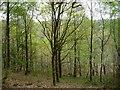 SH6942 : Coed Cymerau Isaf in spring by Christine Johnstone