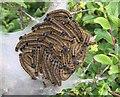 SM8633 : Caterpillar Nest by Alan Hughes