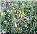 TG3004 : Poverty Brome (Anisantha sterilis) by Evelyn Simak