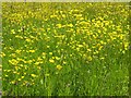 SO8742 : Buttercups in the Glebe Field by Philip Halling