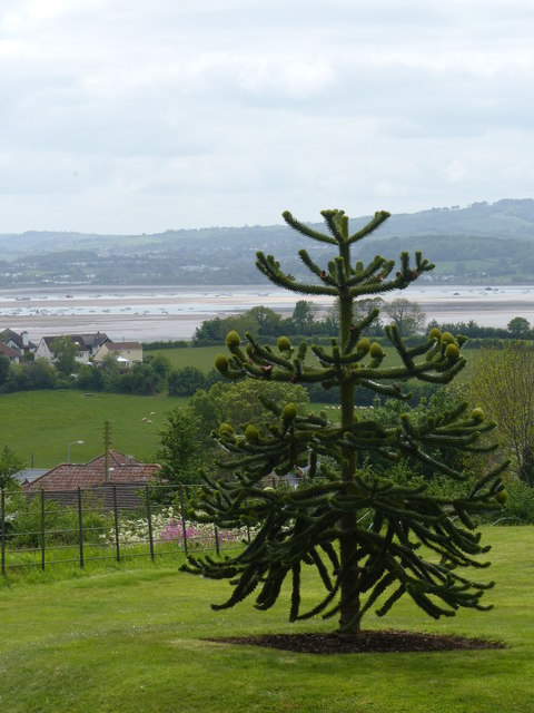 View from A la Ronde with Araucaria araucana