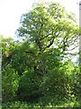 NT4334 : The Glenkinnon Oak by M J Richardson