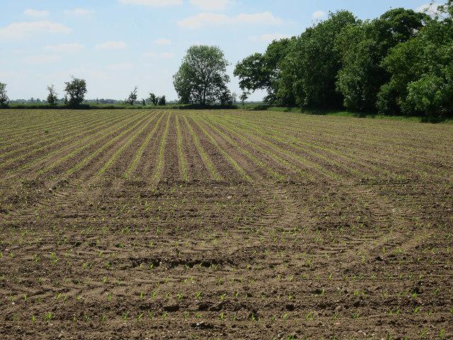 Maize crop by Tennis Drove