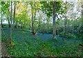 NH6756 : Bluebell Woodland by valenta
