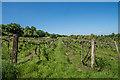 TQ1655 : Thorncroft Vineyard  by Ian Capper