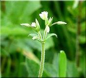 TG3204 : Mouse-ear chickweed (Cerastium vulgatum) by Evelyn Simak