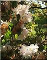 SX9050 : Rhododendron, Coleton Fishacre by Derek Harper